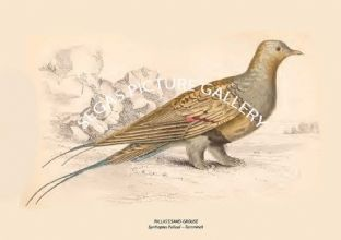PALLASS SAND-GROUSE = Syrrhaptes Pallasii -- Temminck